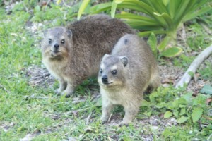 Two rock hyraxes. And later there were even more.