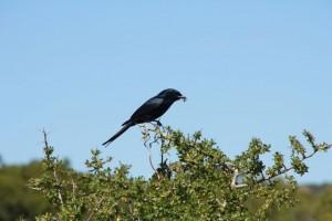 Unknown black bird