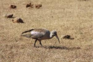 Hadada ibis, a very noisy bird