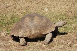 A land tortoise