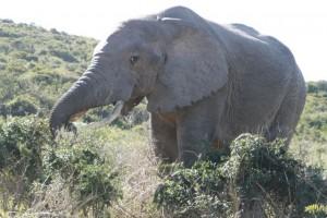 One big bull elephant