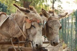 Donkeys in Hankey